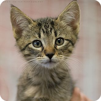 Domestic Shorthair Kitten for adoption in Houston, Texas - CHAMP