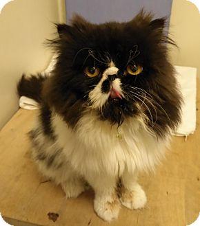 Persian Cat for adoption in THORNHILL, Ontario - Optimus
