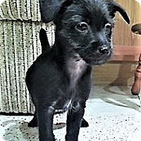 Adopt A Pet :: Noel-adoption pending - Schaumburg, IL