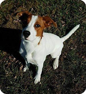 Cattle Dog/Akita Mix Dog for adoption in Hendersonville, North Carolina - Bruno