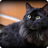 Adopt A Pet :: Majia - Montclair, NJ