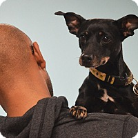 Manchester Terrier Mix Dog for adoption in Rockford, Illinois - Mindy