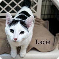 Adopt A Pet :: Lacie - Shelton, WA