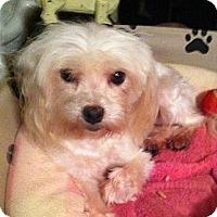 Adopt A Pet :: *Marcy - PENDING - Westport, CT