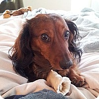 Adopt A Pet :: DOOGIE - Portland, OR