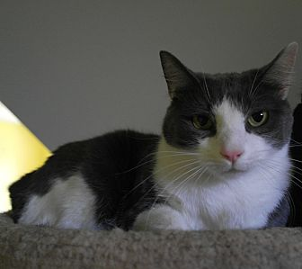 Domestic Shorthair Cat for adoption in Monroe, Connecticut - Sweet Pea