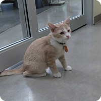 Adopt A Pet :: Alf - Edmond, OK