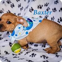 Adopt A Pet :: Baxter - Weeki Wachee, FL