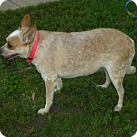 Adopt A Pet :: Deedee - Wyanet, IL