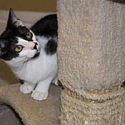 Photo 1 - Domestic Shorthair Cat for adoption in New Port Richey, Florida - Fernando
