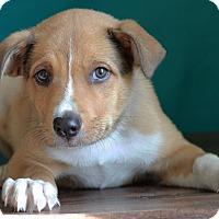 Adopt A Pet :: Bolt - Waldorf, MD