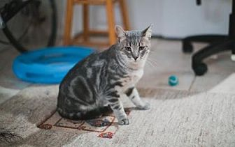 Domestic Shorthair Cat for adoption in Wichita, Kansas - Matty