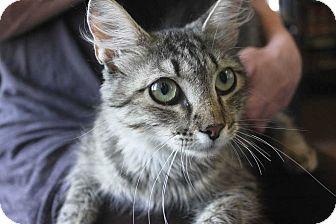 Domestic Mediumhair Cat for adoption in Denver, Colorado - Kitty