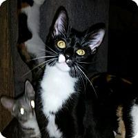 Calico Kitten for adoption in Parker Ford, Pennsylvania - Melie