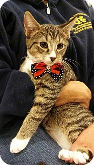 Domestic Shorthair Cat for adoption in Glen Mills, Pennsylvania - Cooper