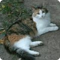 Domestic Longhair Cat for adoption in East Hanover, New Jersey - Amelia