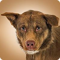 Adopt A Pet :: Izzy - Prescott, AZ