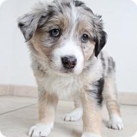 Adopt A Pet :: Shyla D162131: NO LONGER ACCEPTING APPLICATIONS - Edina, MN