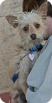 Terrier (Unknown Type, Small) Mix Dog for adoption in Palmdale, California - Einstein