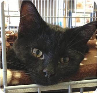 Domestic Shorthair Kitten for adoption in Green Bay, Wisconsin - Xavier