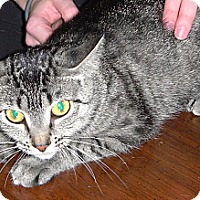 Domestic Shorthair Cat for adoption in St. Louis, Missouri - Bethany -Special Adoption Rate