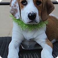 Adopt A Pet :: Darcy - Hagerstown, MD