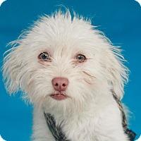 Adopt A Pet :: Mochi - green eyes - Los Angeles, CA