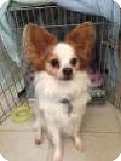 Papillon Mix Dog for adoption in Alpharetta, Georgia - Aven