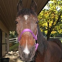 Tennessee Walking Horse for adoption in Birdsboro, Pennsylvania - Dandee