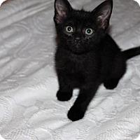 Domestic Shorthair Kitten for adoption in Abbeville, Louisiana - Wolverine