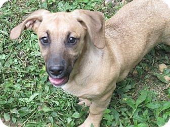 Basset Hound/Labrador Retriever Mix Puppy for adoption in Hagerstown, Maryland - Lexi