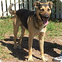German Shepherd Dog Mix Dog for adoption in Avon Park, Florida - Fritz