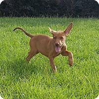 Doberman Pinscher/Labrador Retriever Mix Puppy for adoption in West Springfield, Massachusetts - Sasha