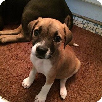 Pit Bull Terrier Mix Dog for adoption in New York, New York - Lucy