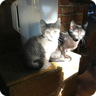 Domestic Shorthair Kitten for adoption in Grand Junction, Colorado - BBG