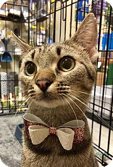 Domestic Shorthair Cat for adoption in Tega Cay, South Carolina - Gail