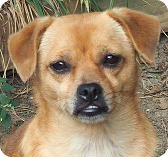 Chihuahua/Shih Tzu Mix Dog for adoption in Stockport, Ohio - Kiki