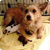 Cairn Terrier Mix Dog for adoption in West Palm Beach, Florida - Darcee