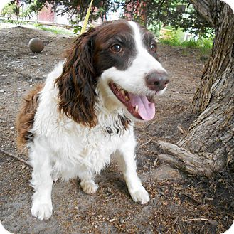 Springer Spaniel Mix Dog for adoption in Palmyra, Nebraska - Rex