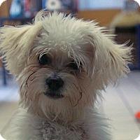 Adopt A Pet :: Noodles - Los Angeles, CA