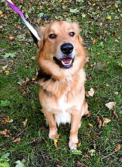 Shepherd (Unknown Type)/Collie Mix Dog for adoption in Detroit, Michigan - Harley Davidson-Pending!