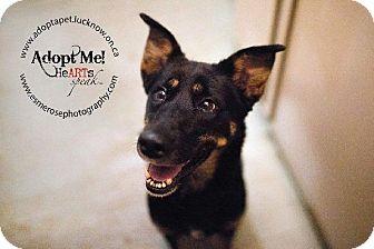 German Shepherd Dog Mix Puppy for adoption in Lucknow, Ontario - Maya