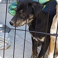 Adopt A Pet :: Duby  ARRIVES DECEMBER 3RD - cupertino, CA