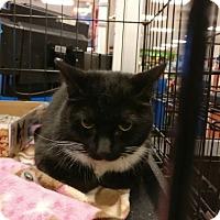Adopt A Pet :: Mittens - Avon, OH