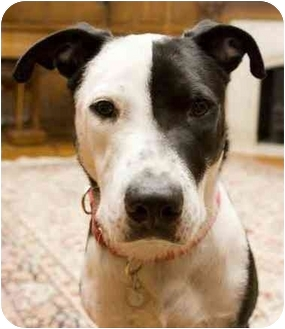 American Staffordshire Terrier/Pointer Mix Dog for adption in New York ...
