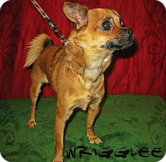 Chihuahua/Pug Mix Dog for adoption in Prole, Iowa - Wrigglee