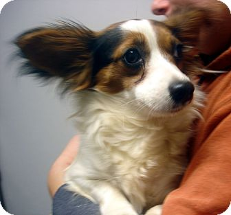 Papillon Mix Dog for adoption in baltimore, Maryland - Ruby