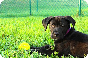 Labrador Retriever Mix Puppy for adoption in Davie, Florida - Koda