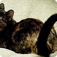 American Shorthair Cat for adoption in Palatine, Illinois - Britney