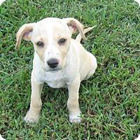 Adopt A Pet :: Dillon-ADOPTION PENDING - Marlborough, MA